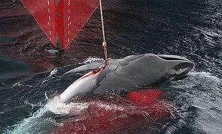 Caza sangrienta de ballenas